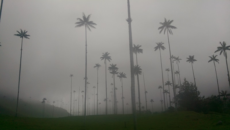 Palm trees in the Valle de Cocora